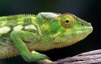 How Long do Chameleons Live
