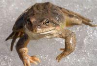 Where do Frogs go in Winter