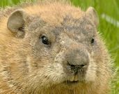 How to Get Rid of Woodchucks