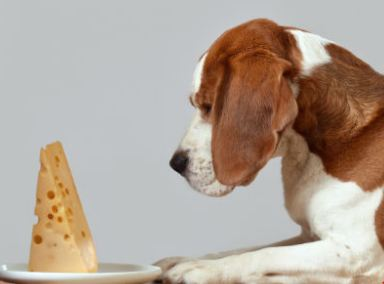 Is Cheese Bad for Dogs
