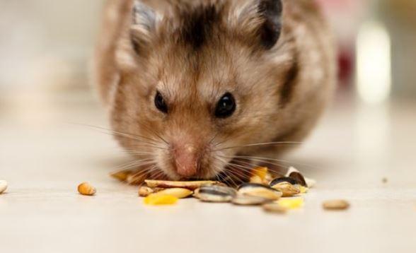 find hamster