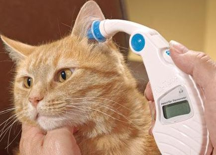 How to Tell if a Cat has a Fever