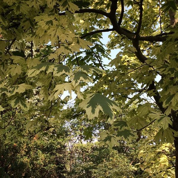 モントリオール植物園、ふの入ったメープルの木