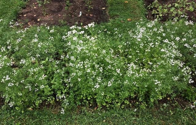 自家菜園、コリアンダー(パクチー)の花が満開