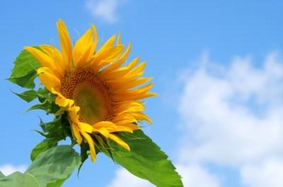 夏、日光、ひまわり
