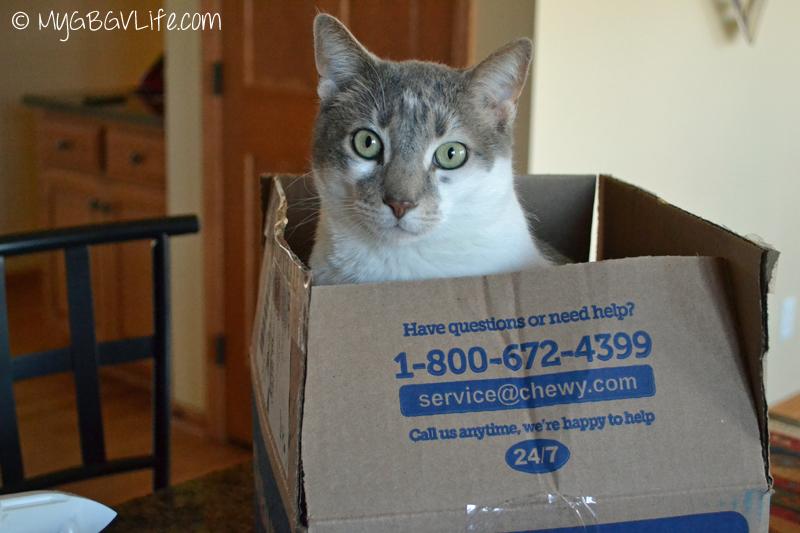 My GBGV Life cat bro Bert Chief Box Inspector