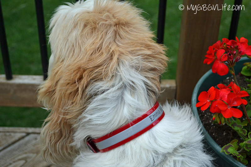 M GBGV Life dogIDs personalized collar in red