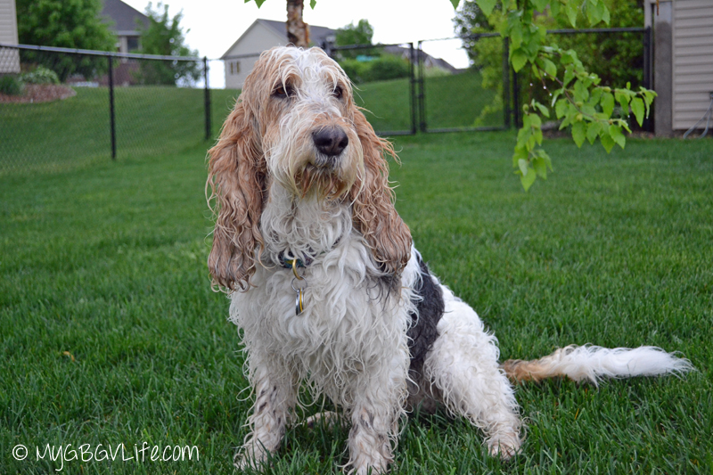 My GBGV Life #DogFun Why life with dogs is best walks in the rain