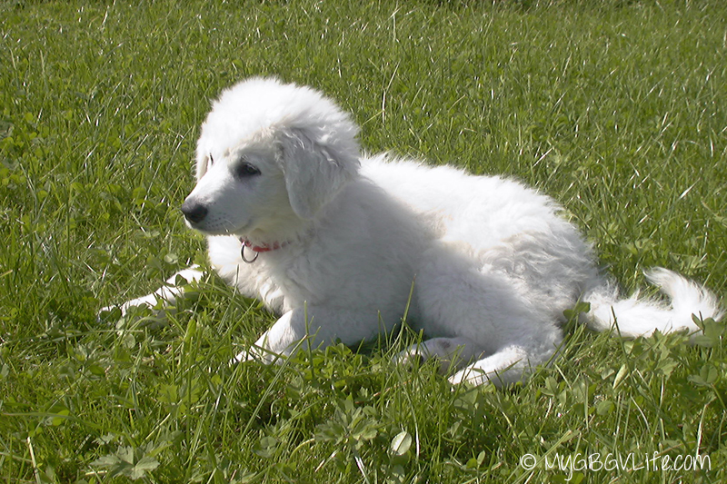 My GBGV Life this 10 week old Kuvasz puppy is 12 today