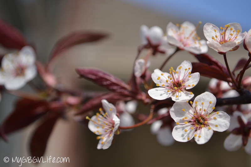 My GBGV Life Crab Apple tree blossoms in the spring