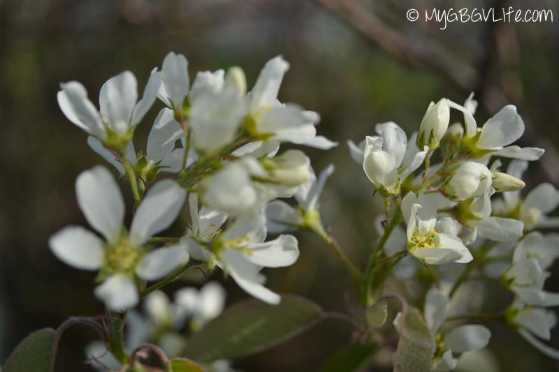 My GBGV Life white spring flowers