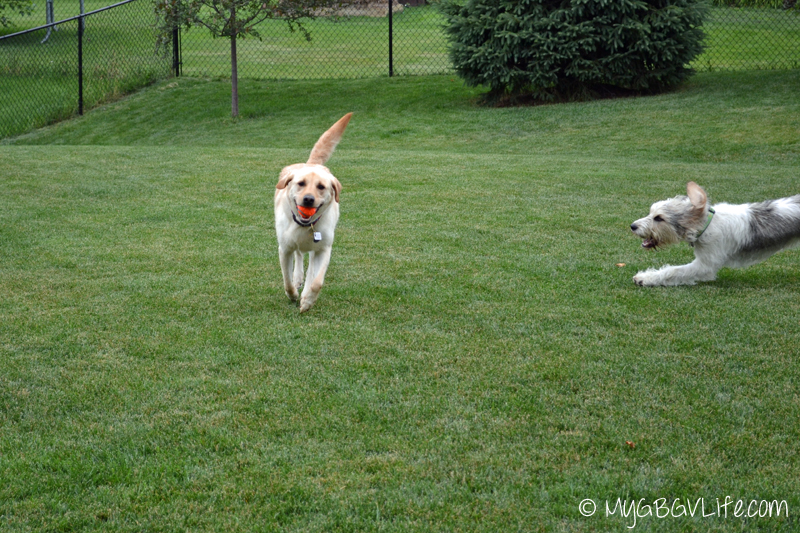 My GBGV Life Bailie and Lena in a game of chase