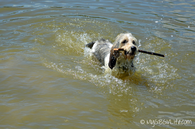 My GBGV Life Bailie retrieving a stick in the pond