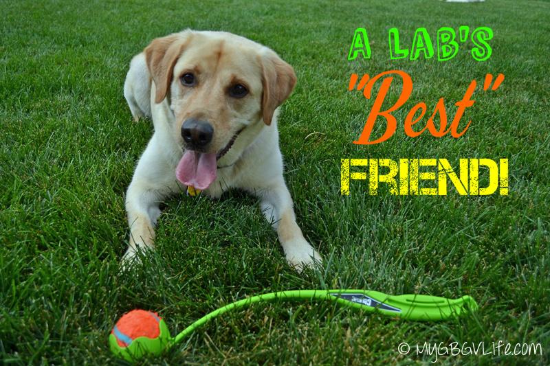 My GBGV Life a Lab's best friend is a tennis ball