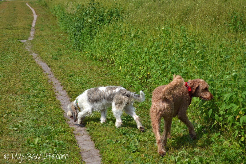 My GBGV Life Bailie and Spencer sniffing