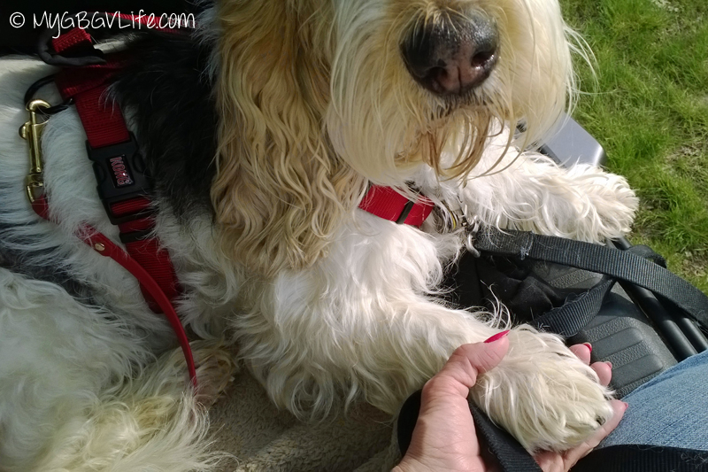 My GBGV Life working paw in hand at our nose work trial