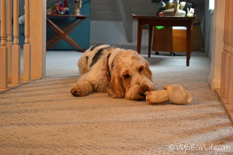 My GBGV Life guarding the bone at the sleepover