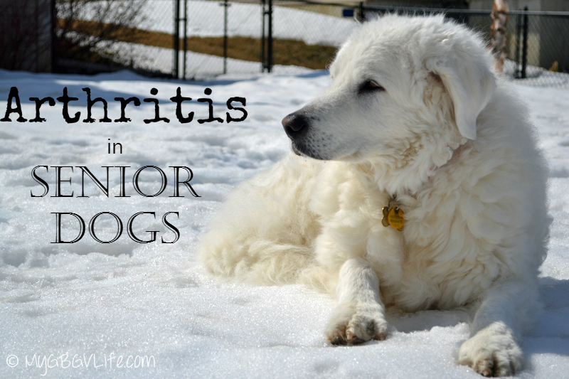 My GBGV Life arthritis in senior dogs