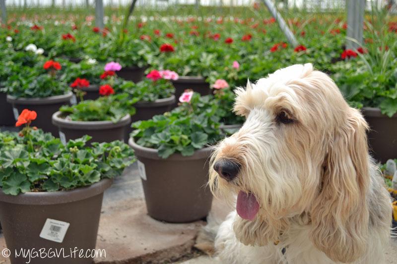 My GBGV Life geranium flowers