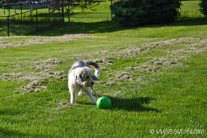 My GBGV Life dragging tuggo dog toy