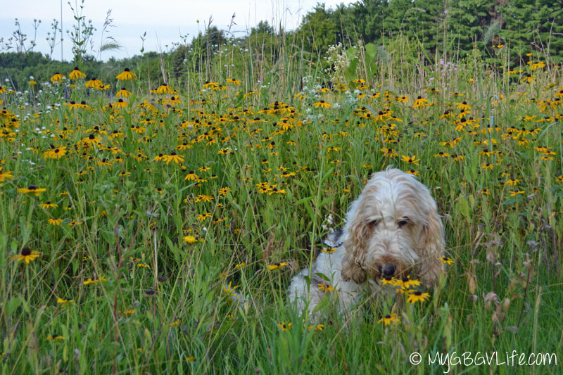My GBGV Life sniffing wild flowers