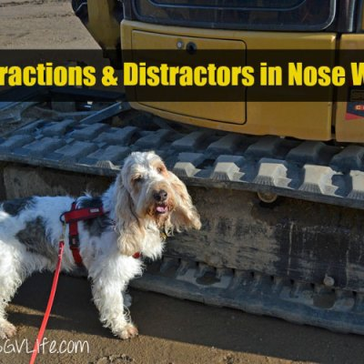 Distractions And Distractors in Nose Work
