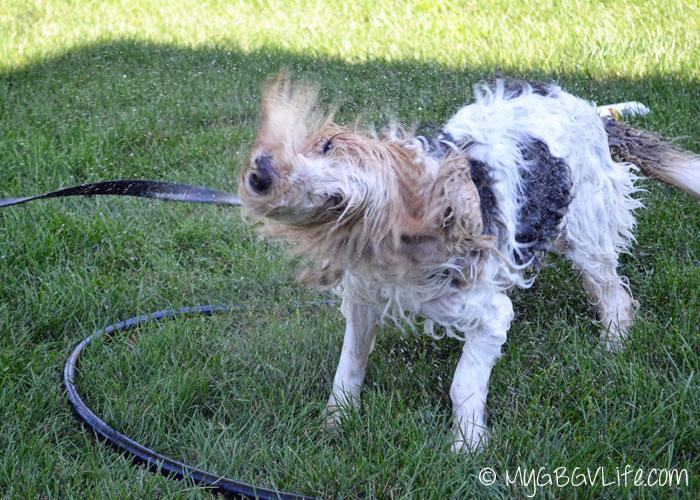 My GBGV LIfe shake off the yard bath