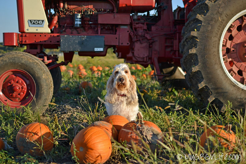 My GBGV LIfe Emma with more pumpkins by the tractor