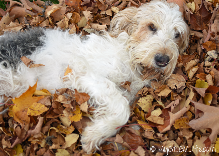 My GBGV Life nothing like a fresh bed of fall leaves