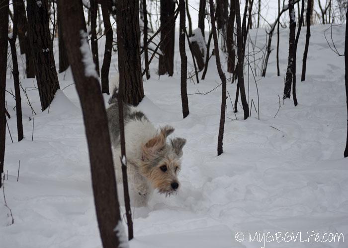 My GBGV Life Bailie runs through the woods