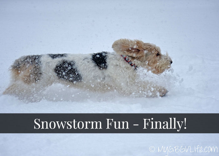My GBGV Life Snowstorms and Dogs