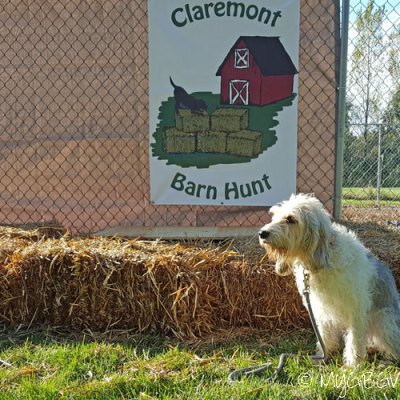 The Claremont Barn Hunt – From Euphoria To Disaster