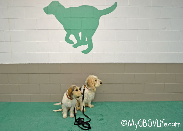 My GBGV Life Madison's First Nose Work Class