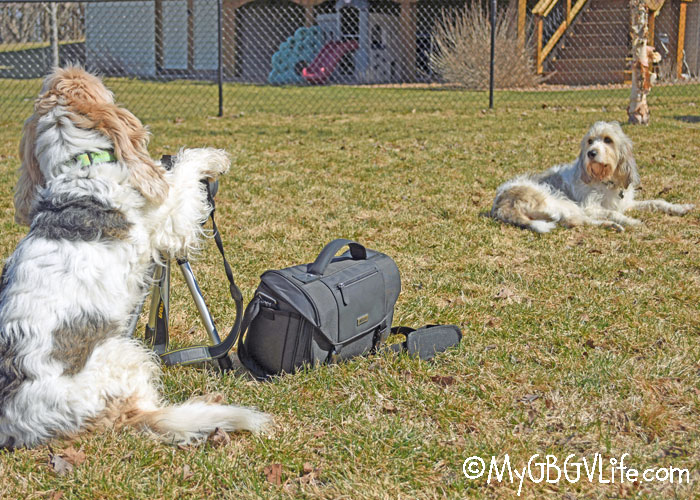 My GBGV Life 7 Tips For Better Dog Photos