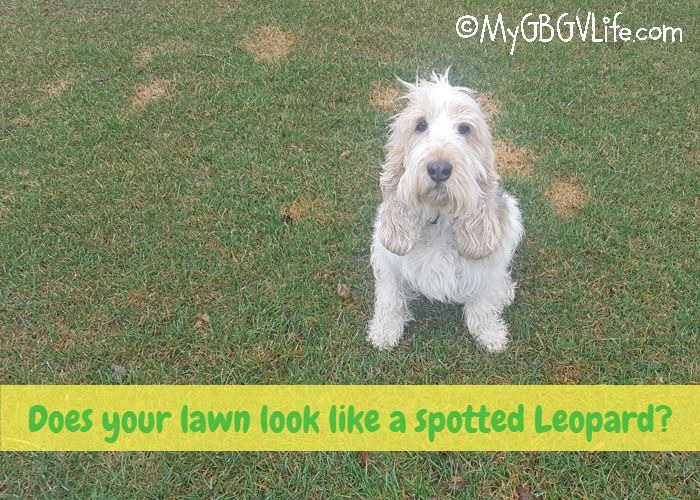 My GBGV Life Does Your Lawn Look Like A Spotted Leopard?