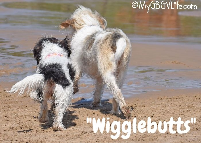 My GBGV LIfe Wigglebiscuits For The Wigglebutts V-Dog