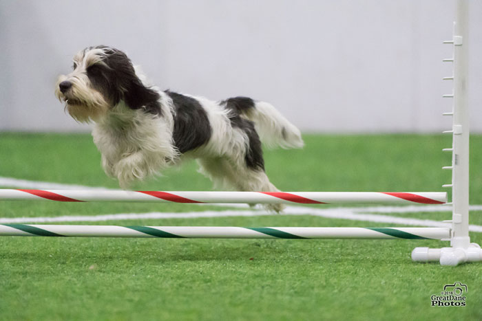 My GBGV LifeHow Does A Happy Agility Dog Look?
