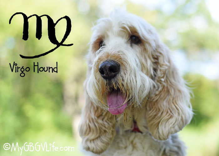 My GBGV Life Dogs And Astrology - I'm A Virgo, But Does Astrology Apply To Dogs?