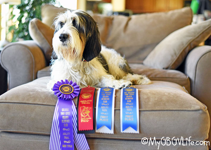 My GBGV Life Madison Brings Home The First Agility Title In Our Family