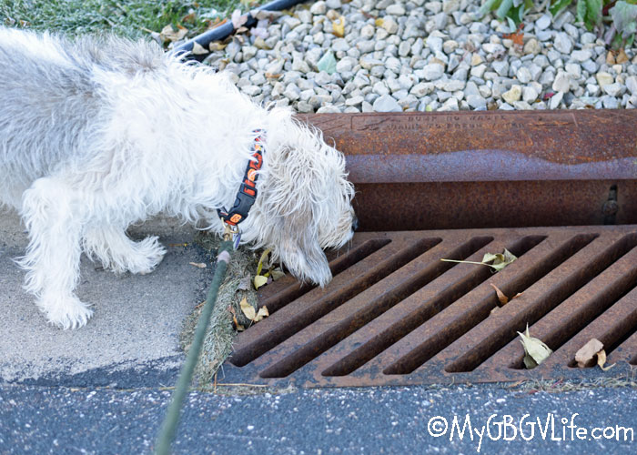 My GBGV Life Why Does My Dog Sniff Storm Sewer Drains?