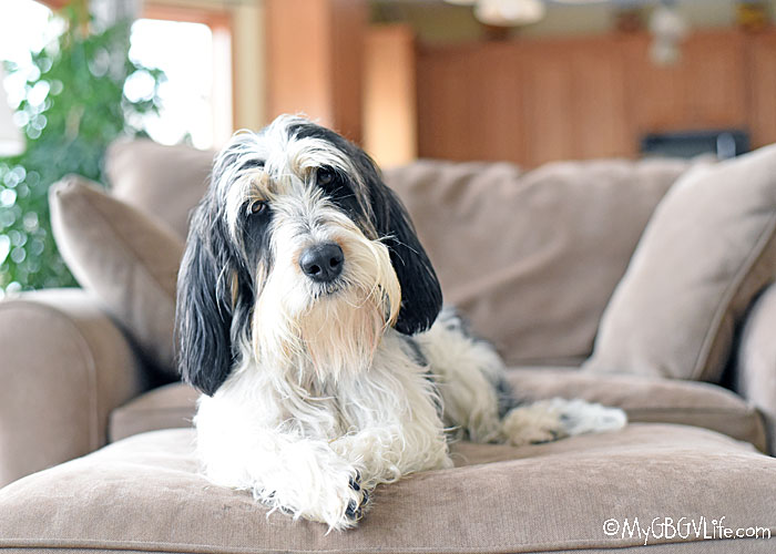 My GBGV Life Losing A Dog Is So Hard! What Can You Do To Feel Better?