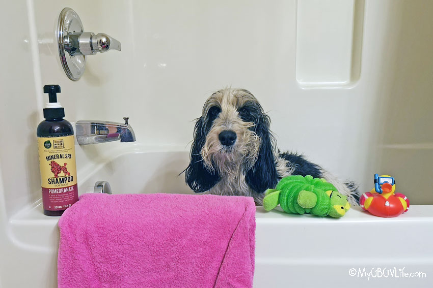 My GBGV Life Spring Cleaning The Dog - The Fear A Bath Is Near