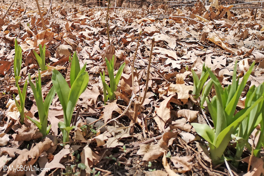 My GBGV Life Spring Has Sprung But Caution - Speed Bump Ahead