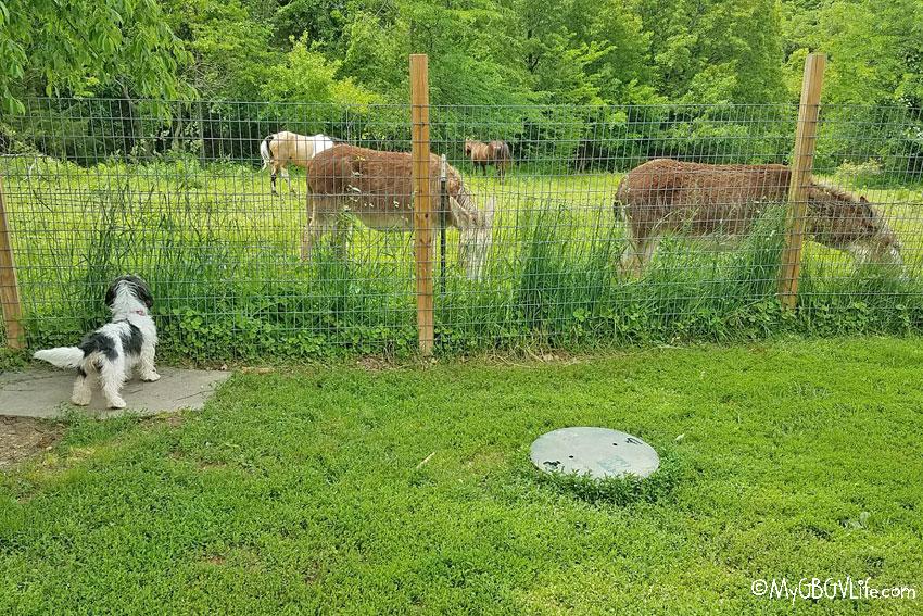 My GBGV Life with the donkeys