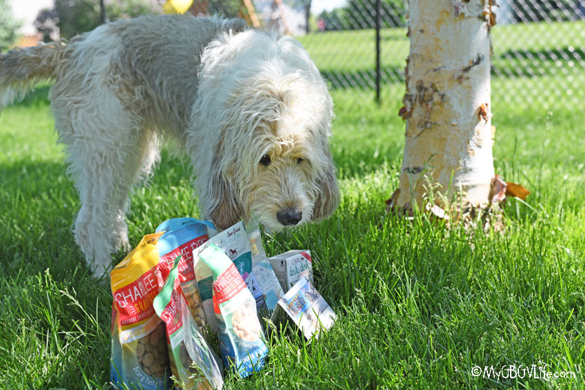 My GBGV Life Bailie sniffing out the treats