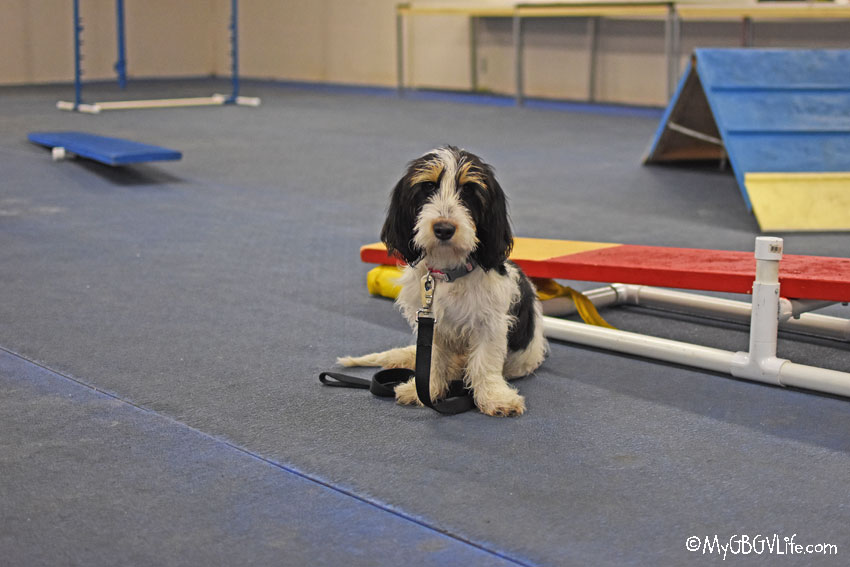 My GBGV Life puppy agility