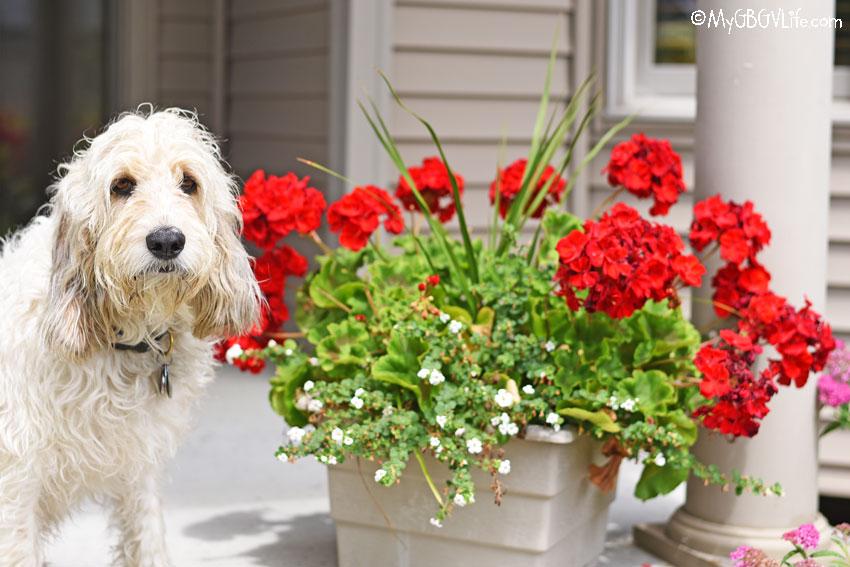 My GBGV Life geraniums