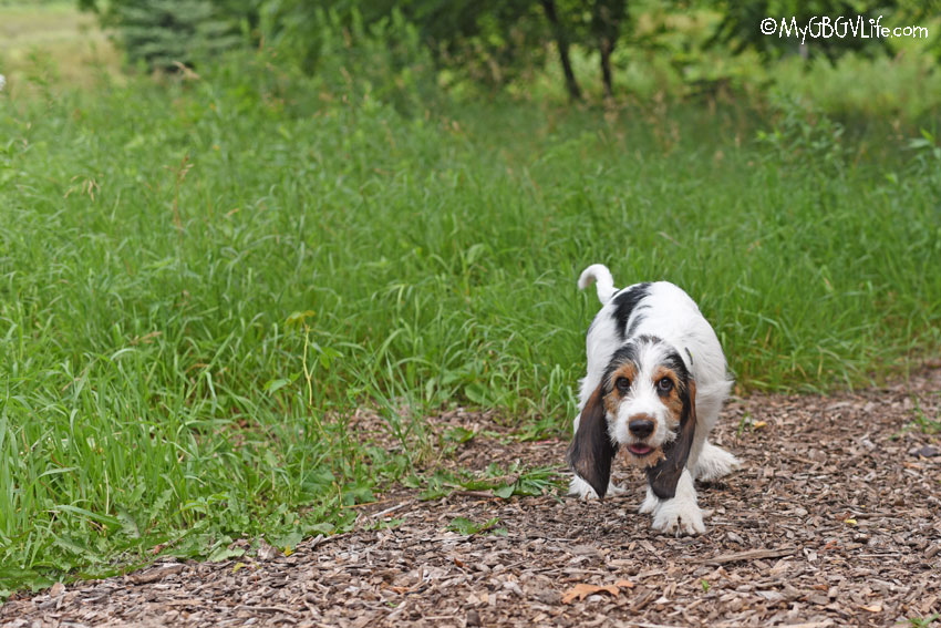 My GBGV Life at the dog park