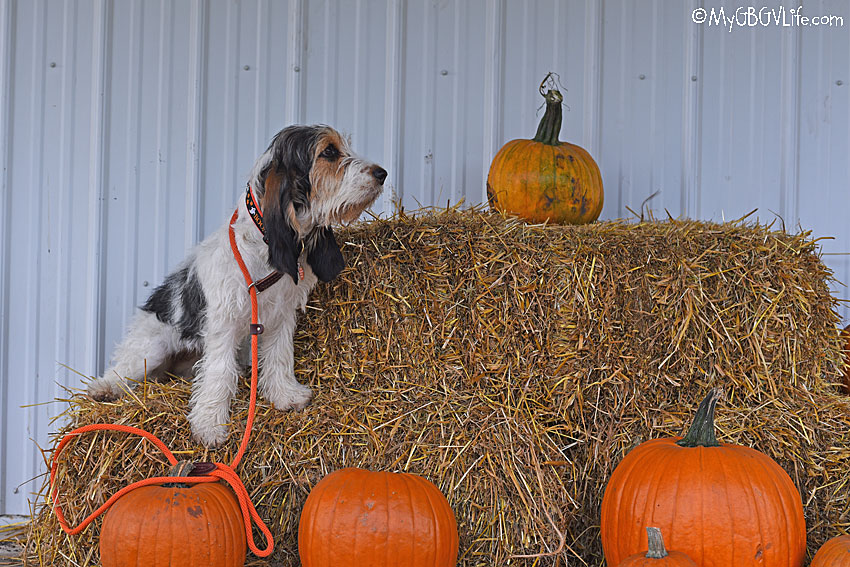 My GBGV Life with pumpkins
