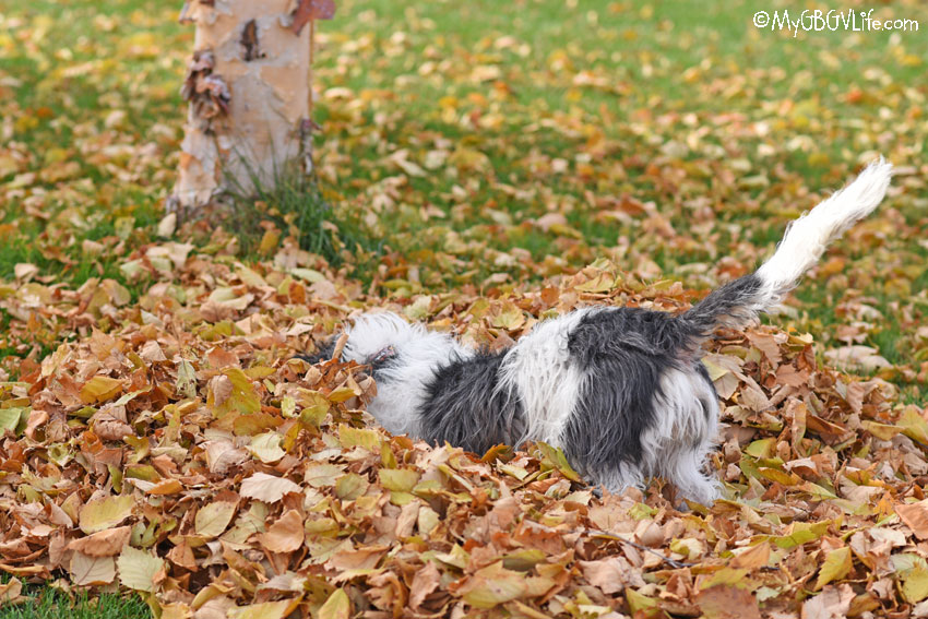 My GBGV Life diving into leaves